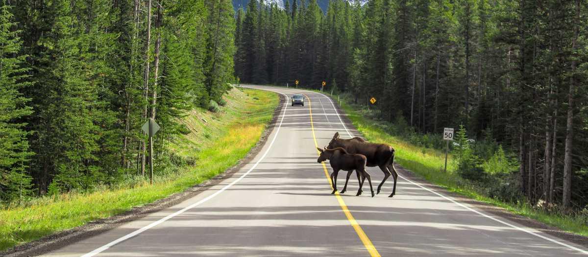 Ein Elch überquert die Strasse im Peter Lougheed Provincial Park, Kananaskis Country, Alberta