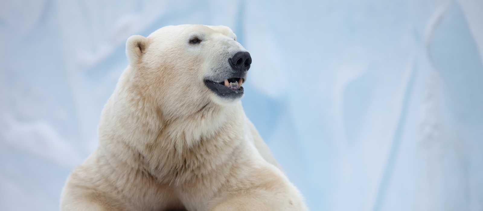 Ein großer Eisbär im Eis