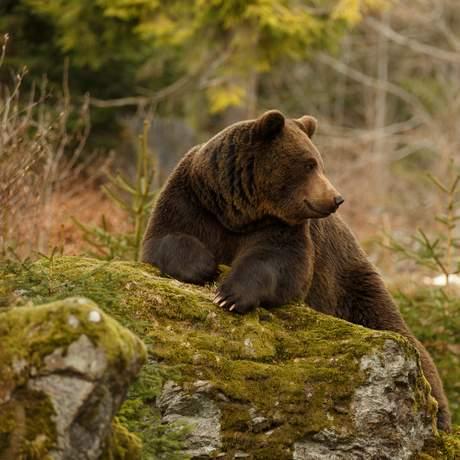 Ein großer Braunbär sitzt auf einem Felsen