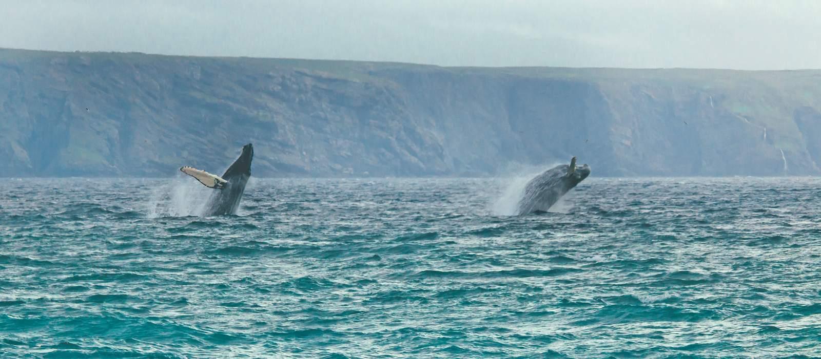 Buckelwale bei St. Vincents auf der Avalon Halbinsel, Neufundland