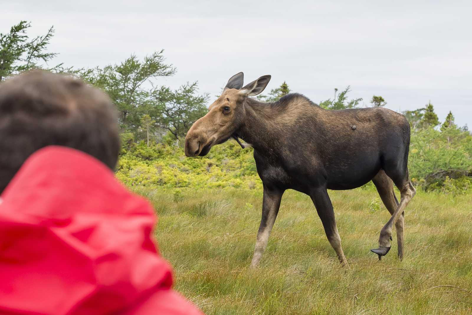 Elchbeobachtung im Gros Morne National Park