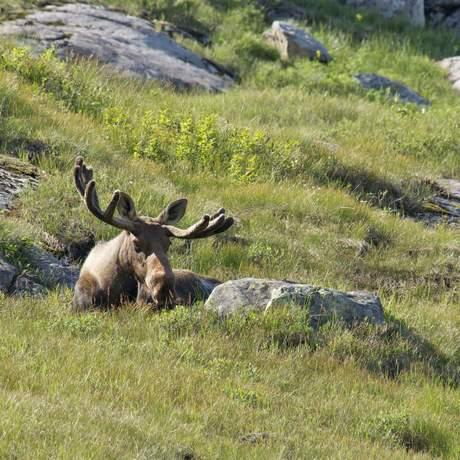 Ein Elch im Gros Morne National Park