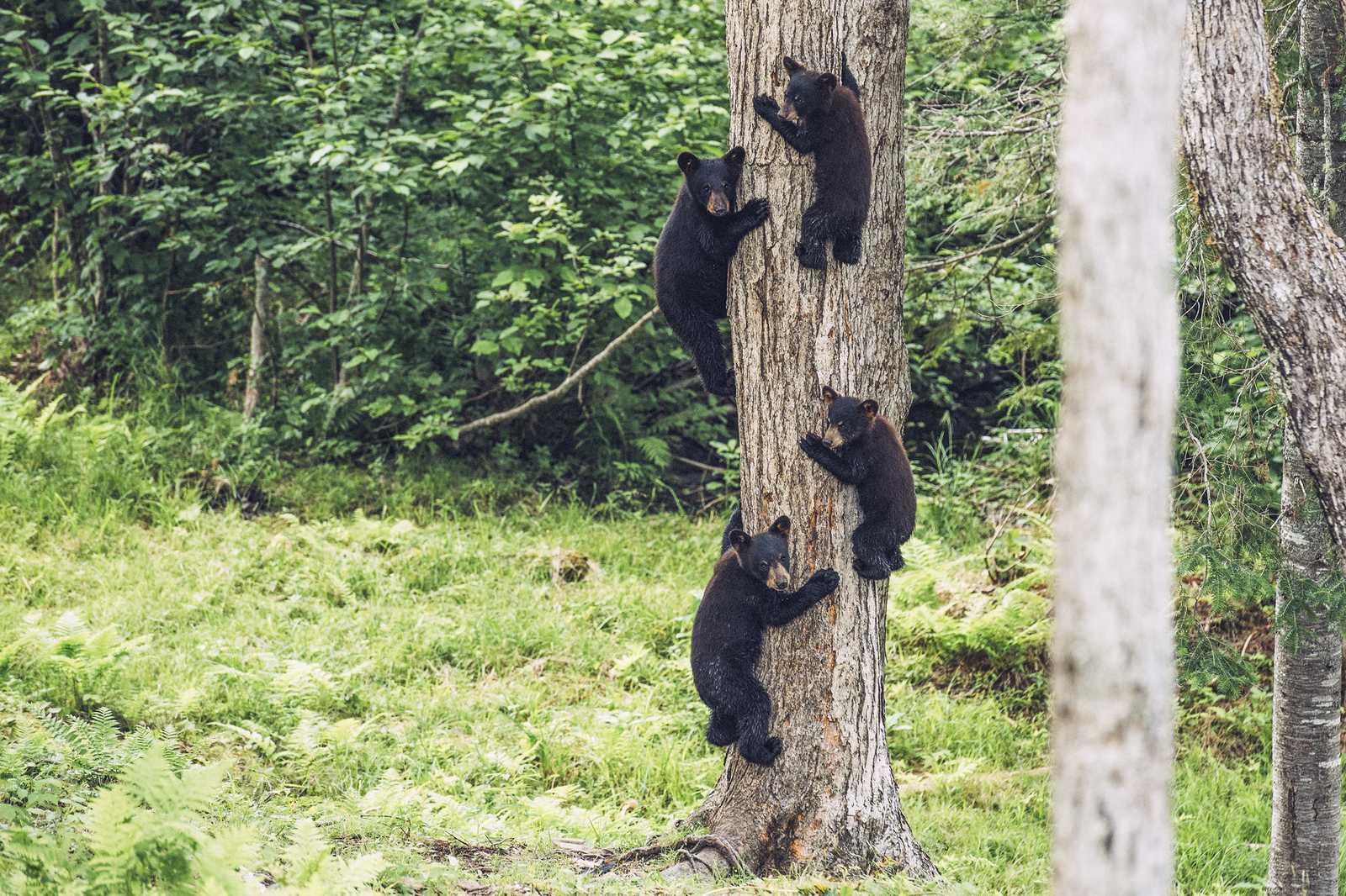 Junge Schwarzbären auf Klettertour in New Brunswick, Kanada