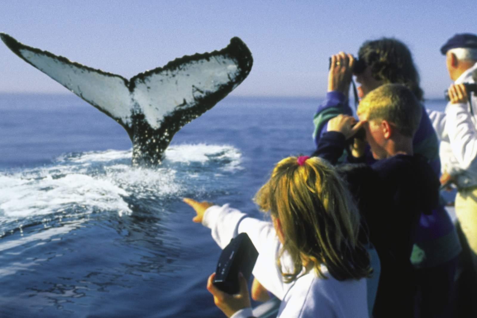 The splash of a tail delights amateur photographers on a whale watching jaunt in the Bay of Fundy. Tourists watching whales. <br>Des photographes amateurs se dZlectent du bond d'une baleine dans la baie de Fundy. Des touristes observent des baleines, Nouveau-Brunswick
