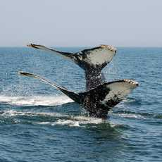 Double Tail Fin