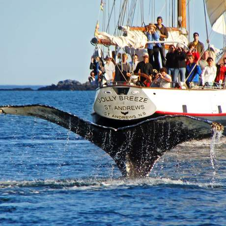 Whalewatching,St. Andrews,NB, Jolly Breeze Tall Ship Adventure