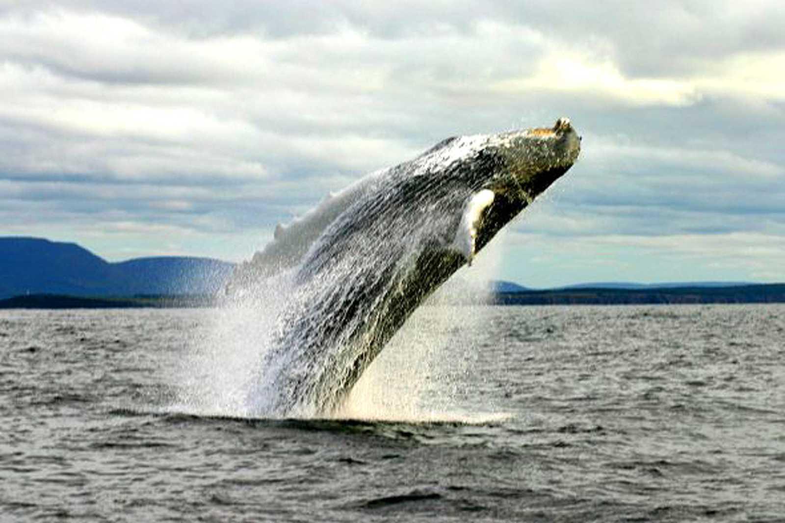 Wale vor Cape Breton