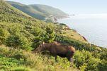 Elch auf Cape Breton Island, Atlantik-Kanada