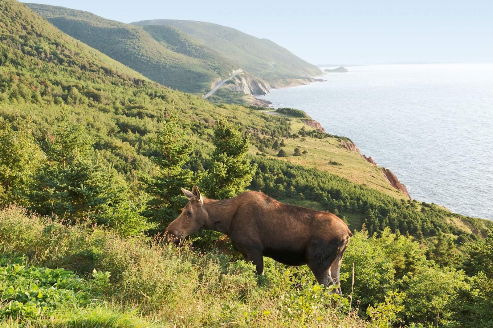 Elch auf Cape Breton Island