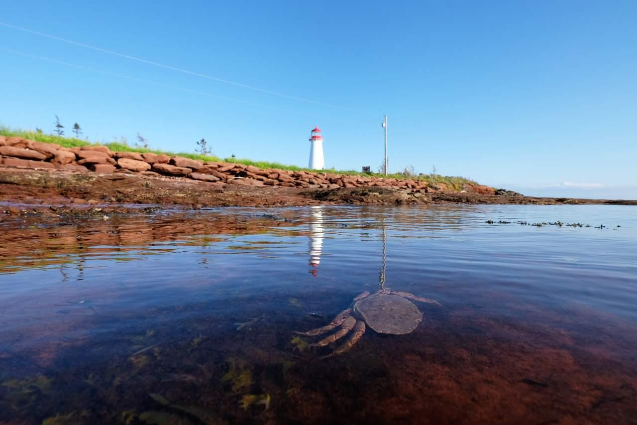 Krabbe vor dem Point Prim Leuchtturm auf Prince Edward Island