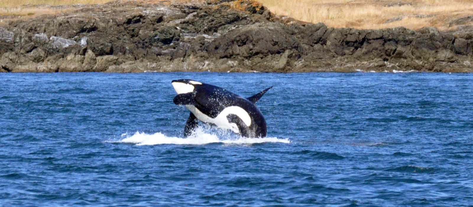 Walbeobachtung an der Küste von BC, Orca springt aus dem Wasser