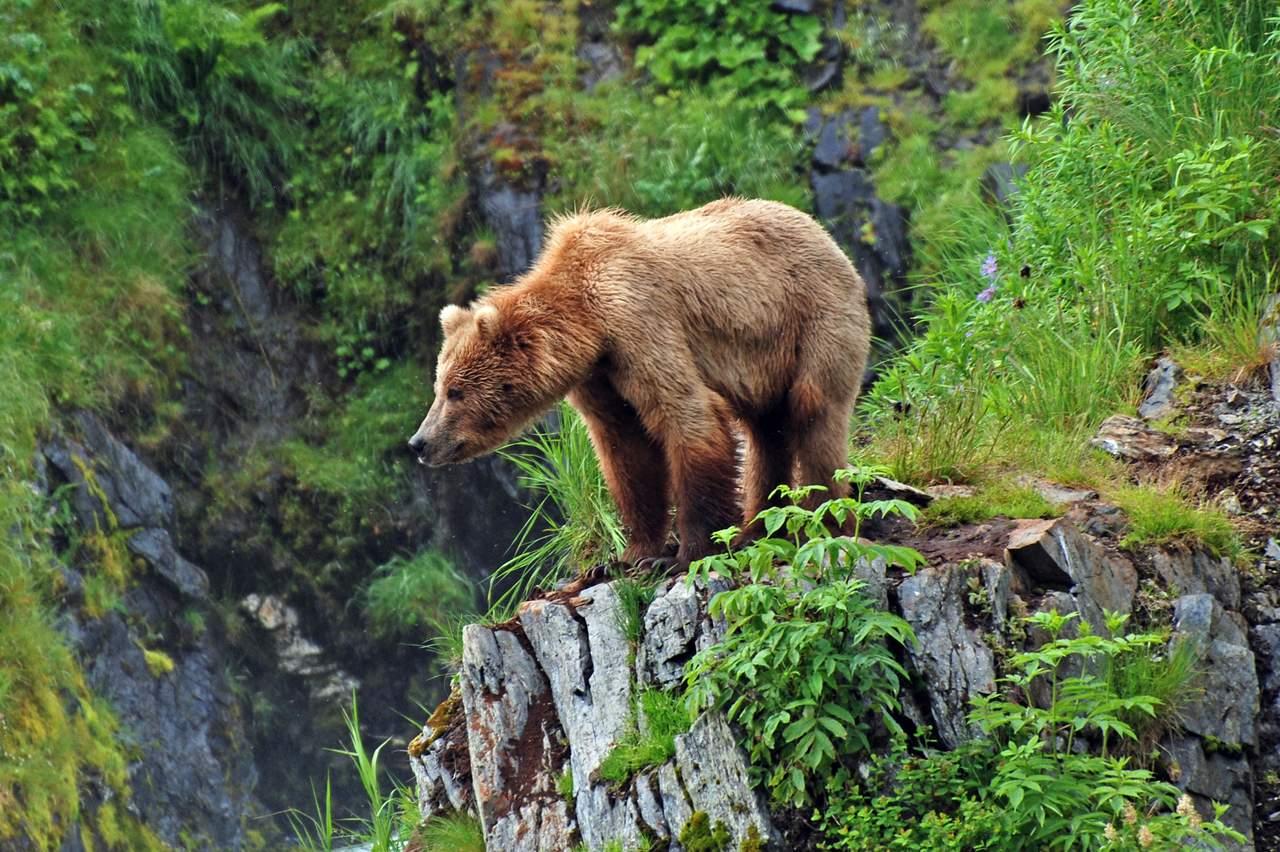Ein Grizzlybär in den Rocky Mountains