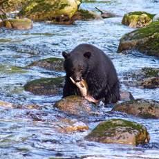 Bär beim Lachsfang, unweit der Hartley Bay