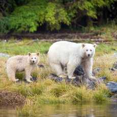 Content Campaign Aboriginal BC, Bären am Wasser