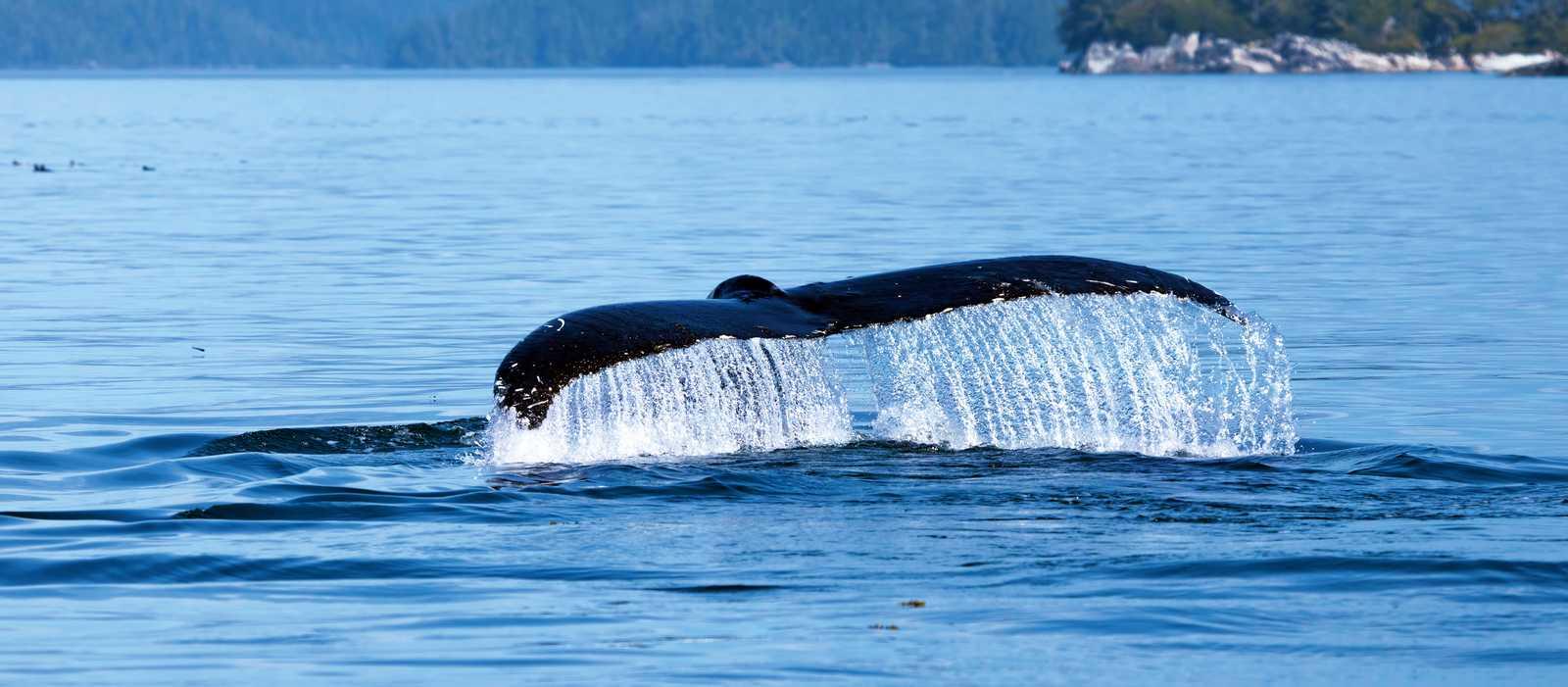 Buckelwal an der Küste British Columbias