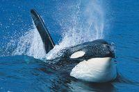 Einen Orca bei der Walbeobachtung entdecken!