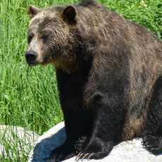 Grizzlie, Grouse Mountain, North Vancouver