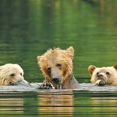 Baerenfamilie badet