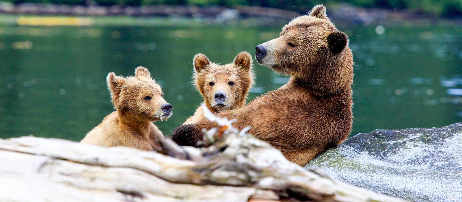 Aufmerksame Bärenfamilie in British-Columbia