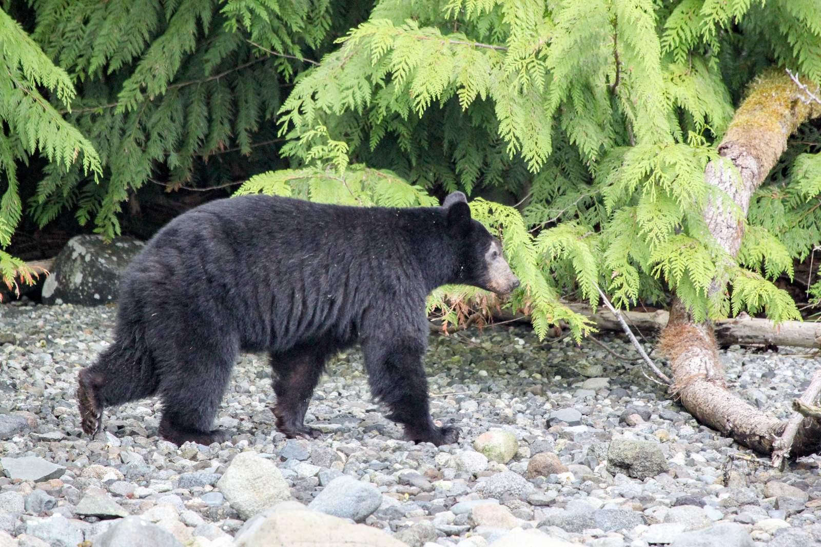 Schwarzbär am Flussufer in British-Columbia