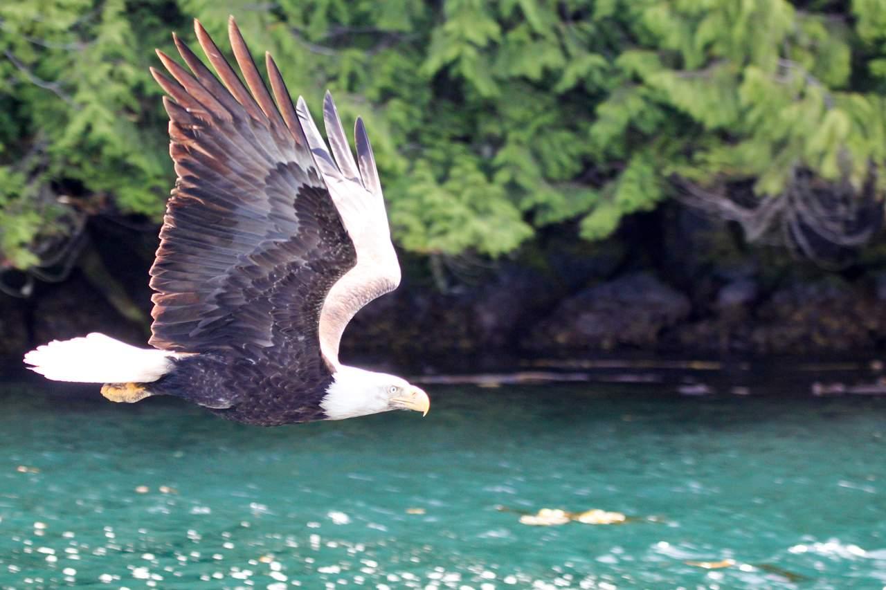 Adler über Wasser in British-Columbia