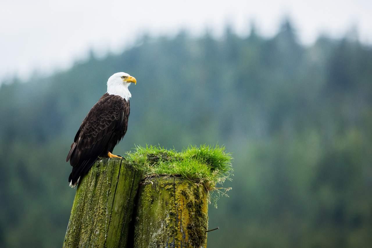 Weisskopfseeadler beim Knight Inlet