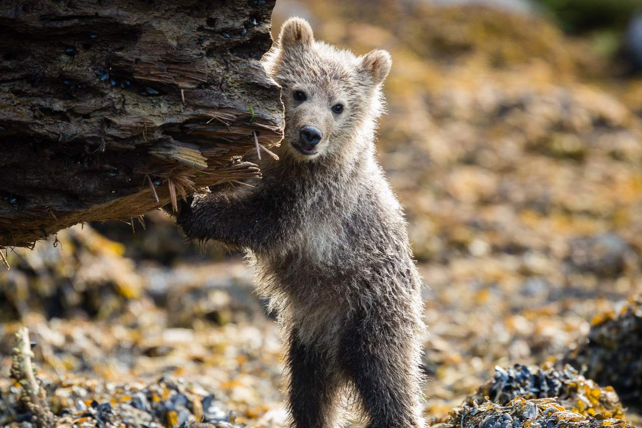 Grizzlyjunges beim Knight Inlet