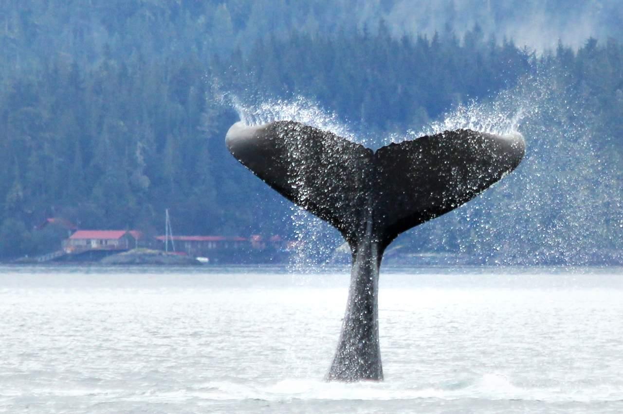 Walflosse beim Knight Inlet