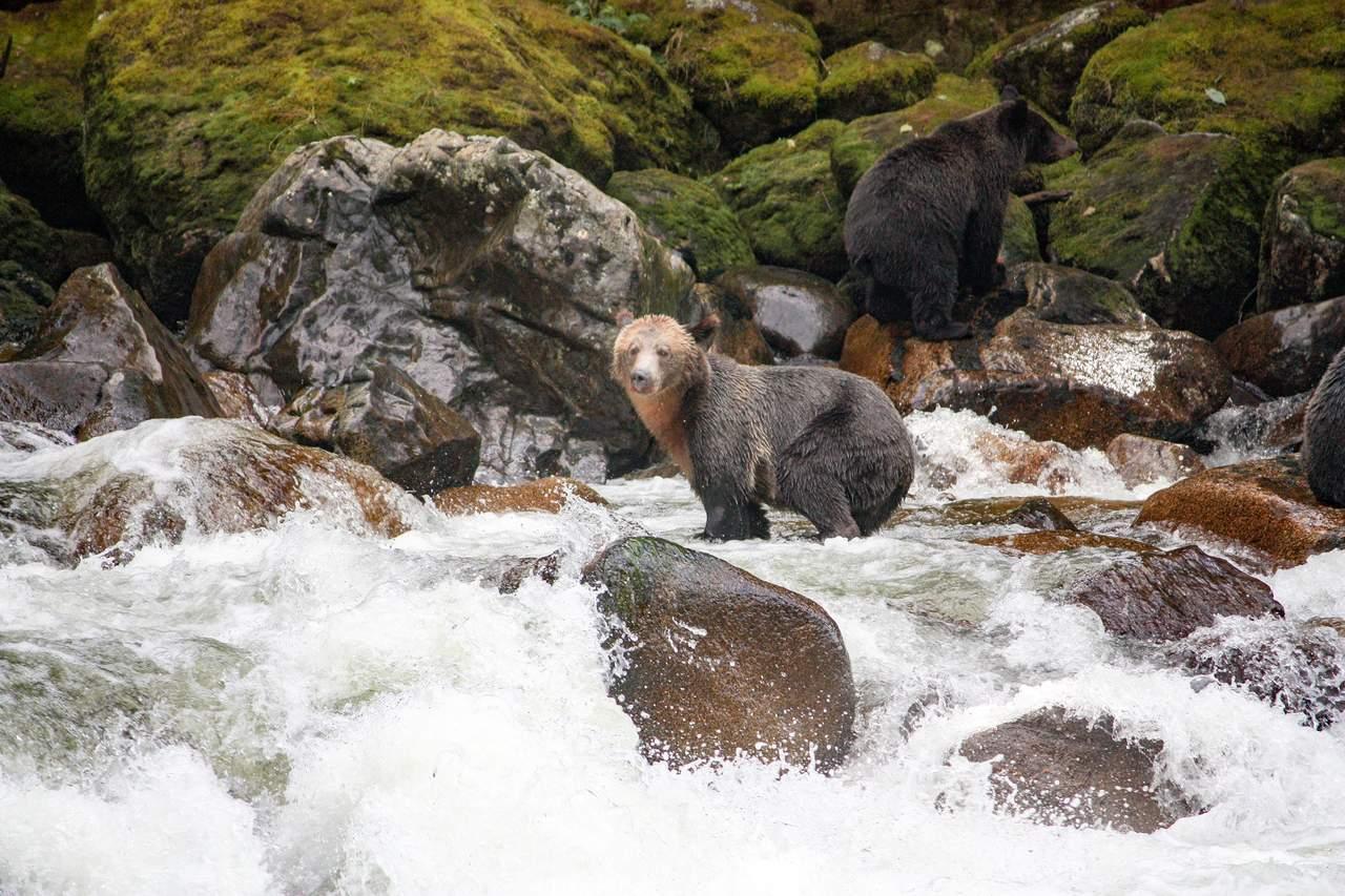 Bär im Fluss auf der Jagd in British-Columbia