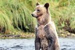 Grizzlybären-Beobachtung
