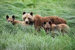 Grizzlyfamilie