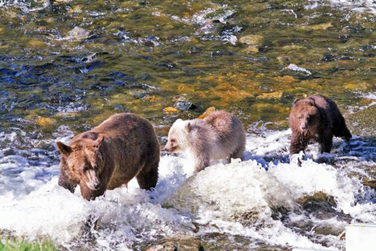 Grizzlybaeren in Glendale Cove