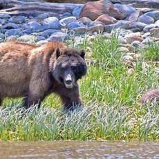 Grizzlybaeren in Glendale Cove