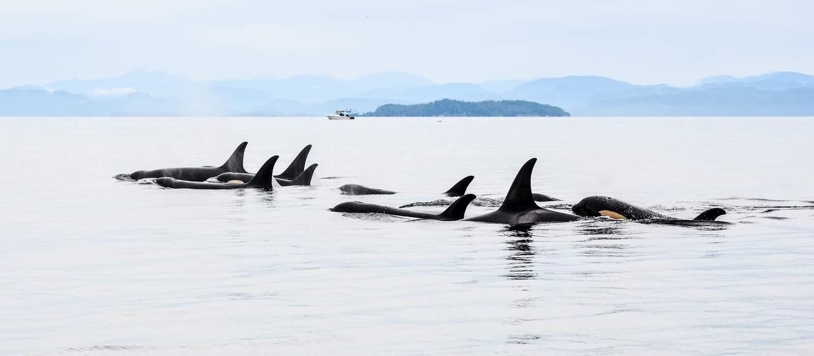 Orcas in British-Columbia