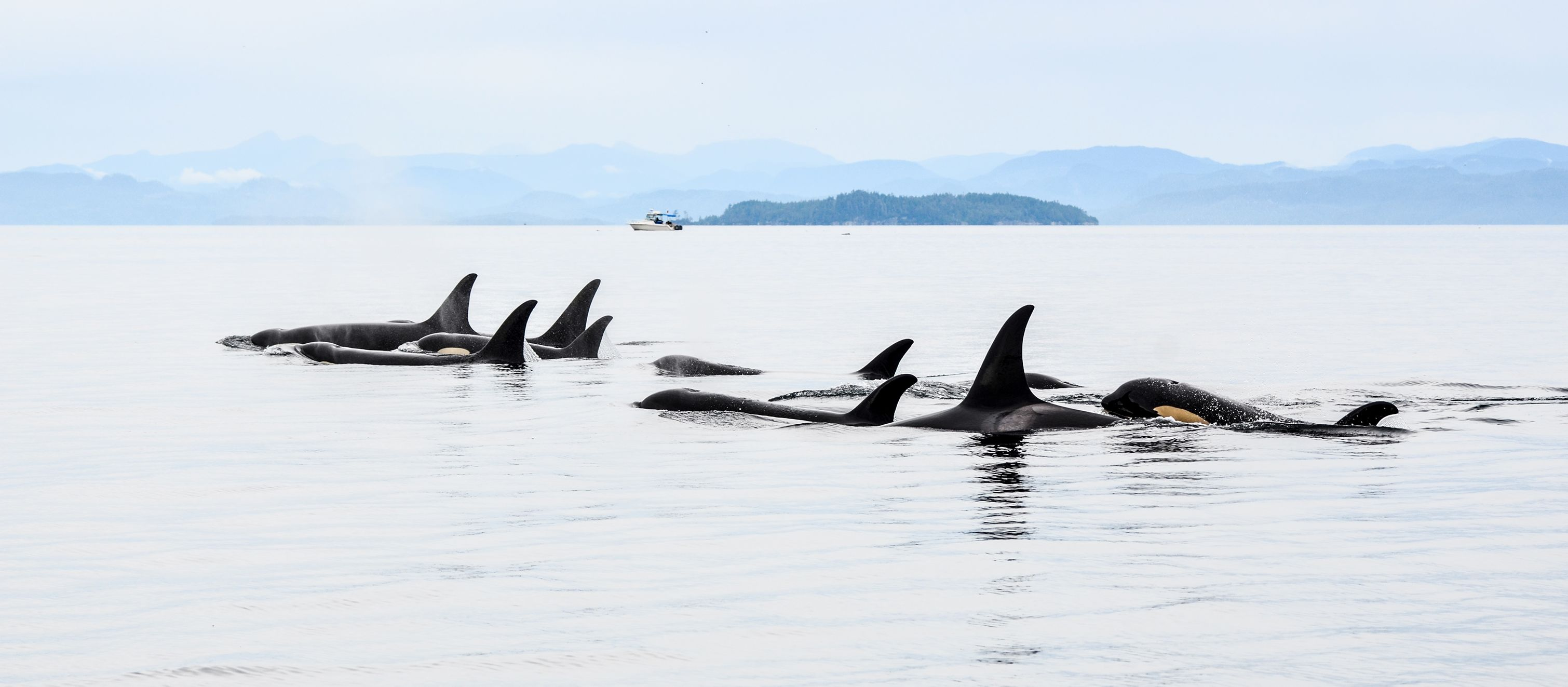 Orcas in British-Columbia