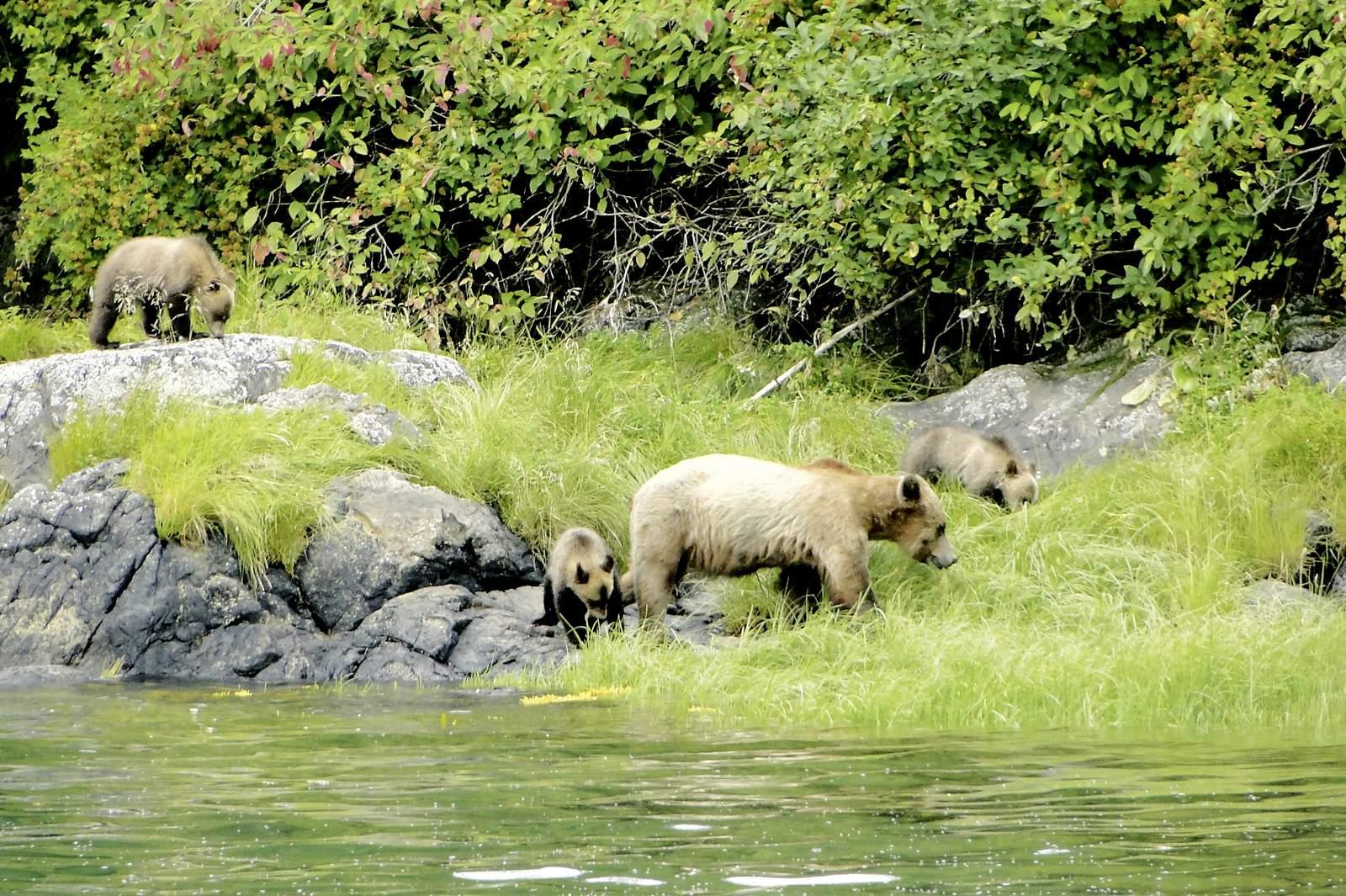 Grizzlybaeren am Knight Inlet