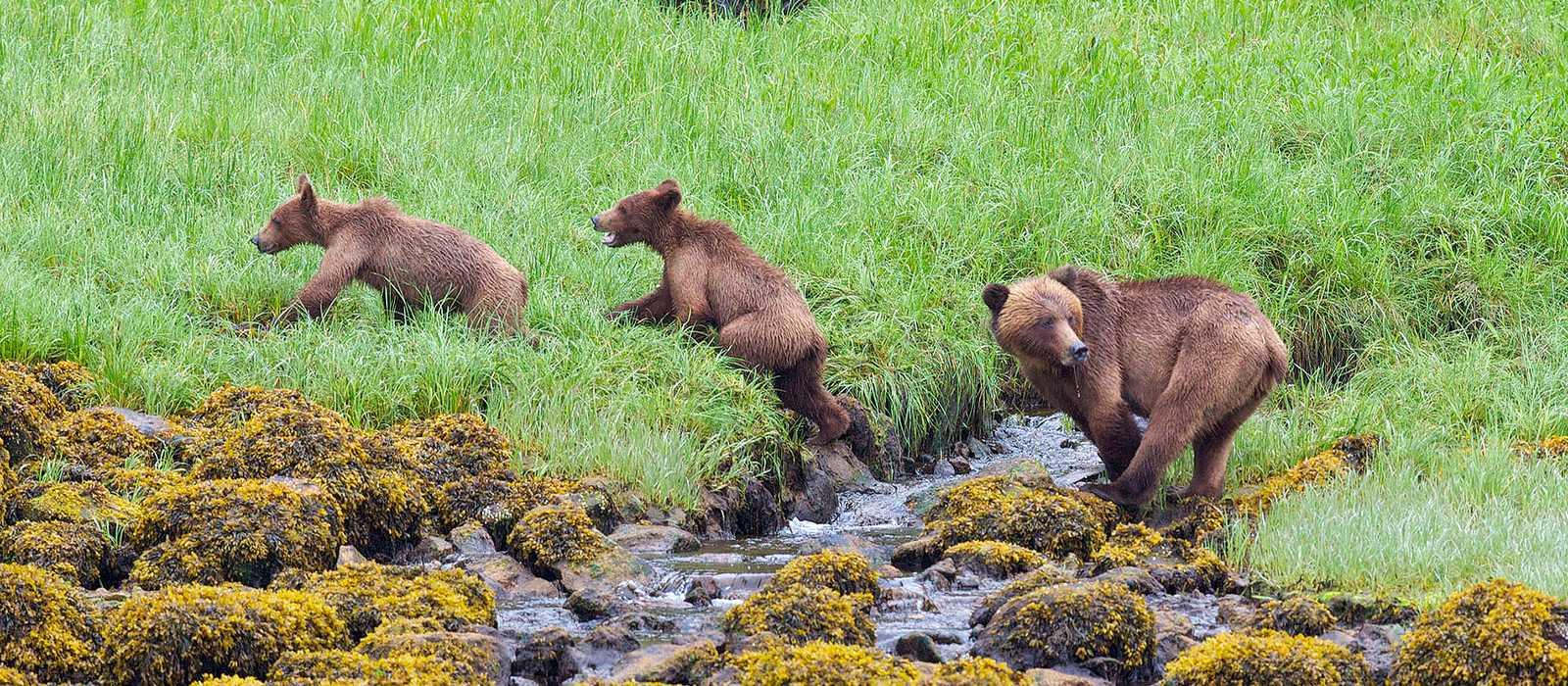 Bären im Khutzeymateen Provincial Park, Britisch Kolumbien