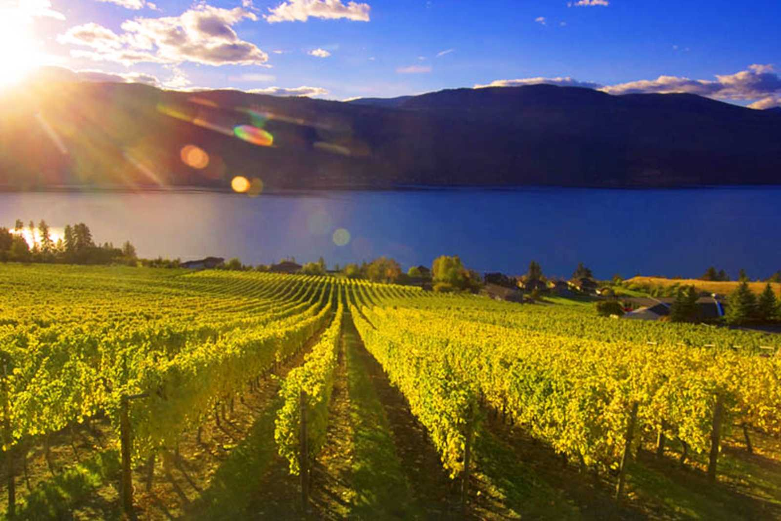 Weinberge im Okanagan Valley
