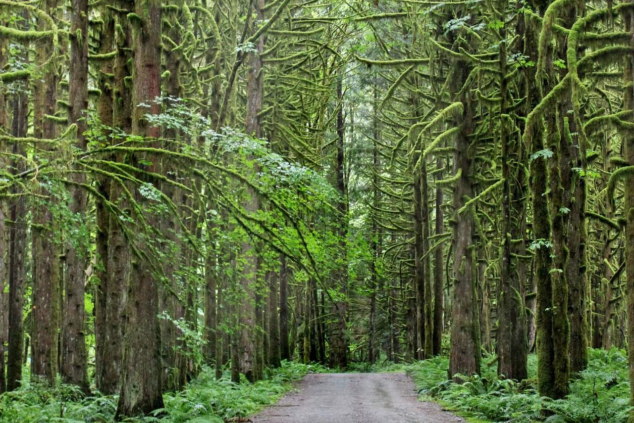 Moosbaeume im Lynn Canyon Park bei Vancouver, British-Columbia