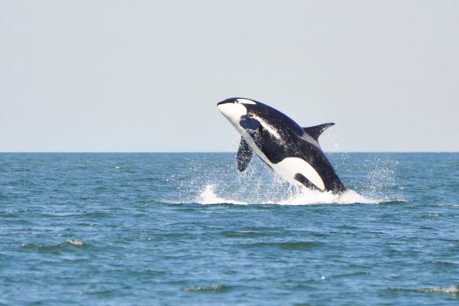 Schwertwal vor der Kueste British Columbias