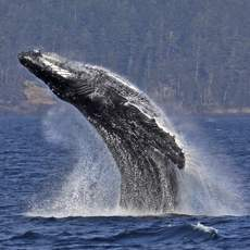 Buckelwal beim Whale Watching in Vancouver, British Columbia