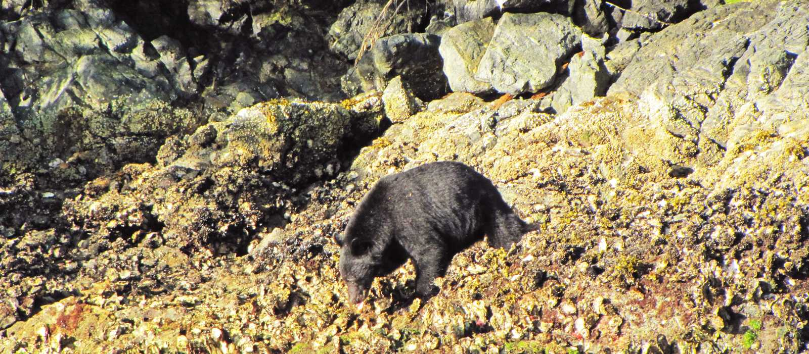 Schwarzbären auf Vancouver Island