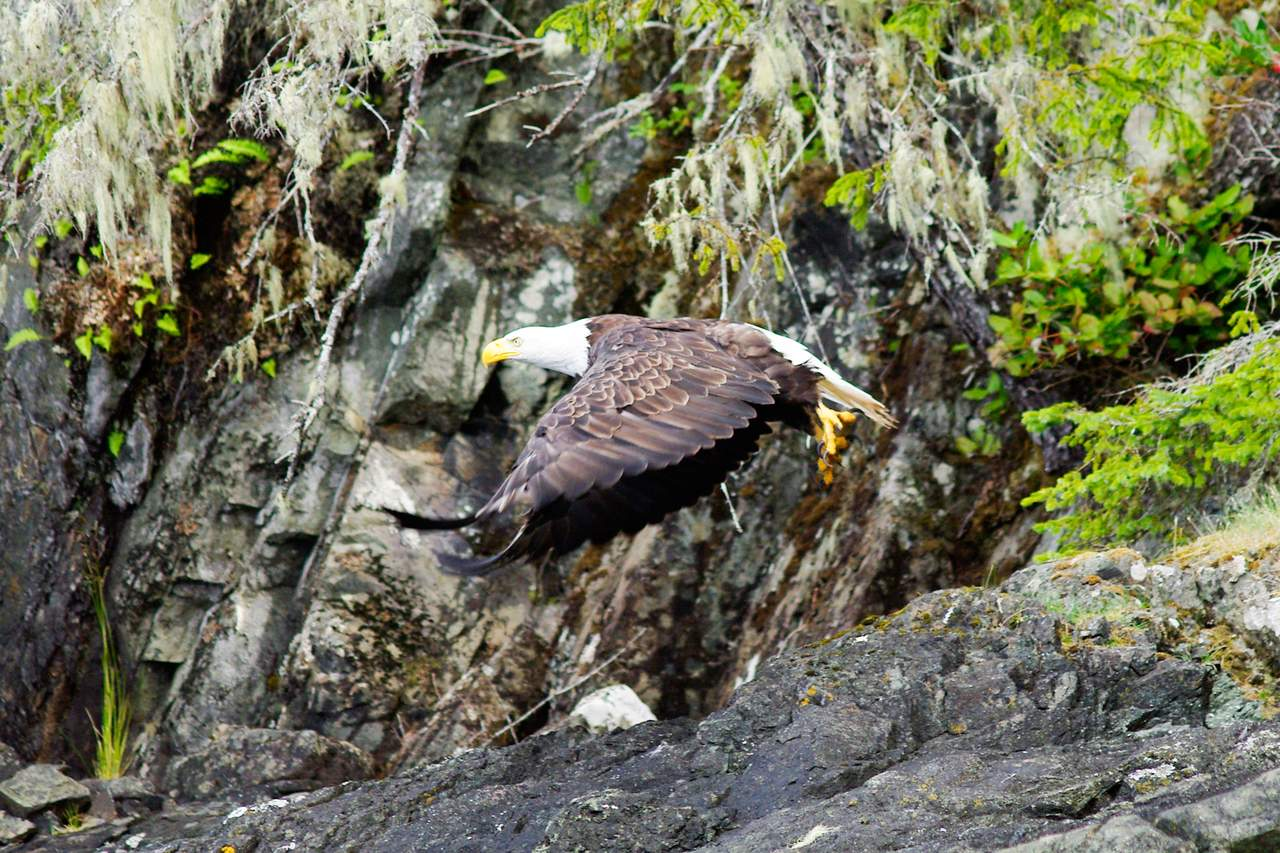 Adler beim Flugstart