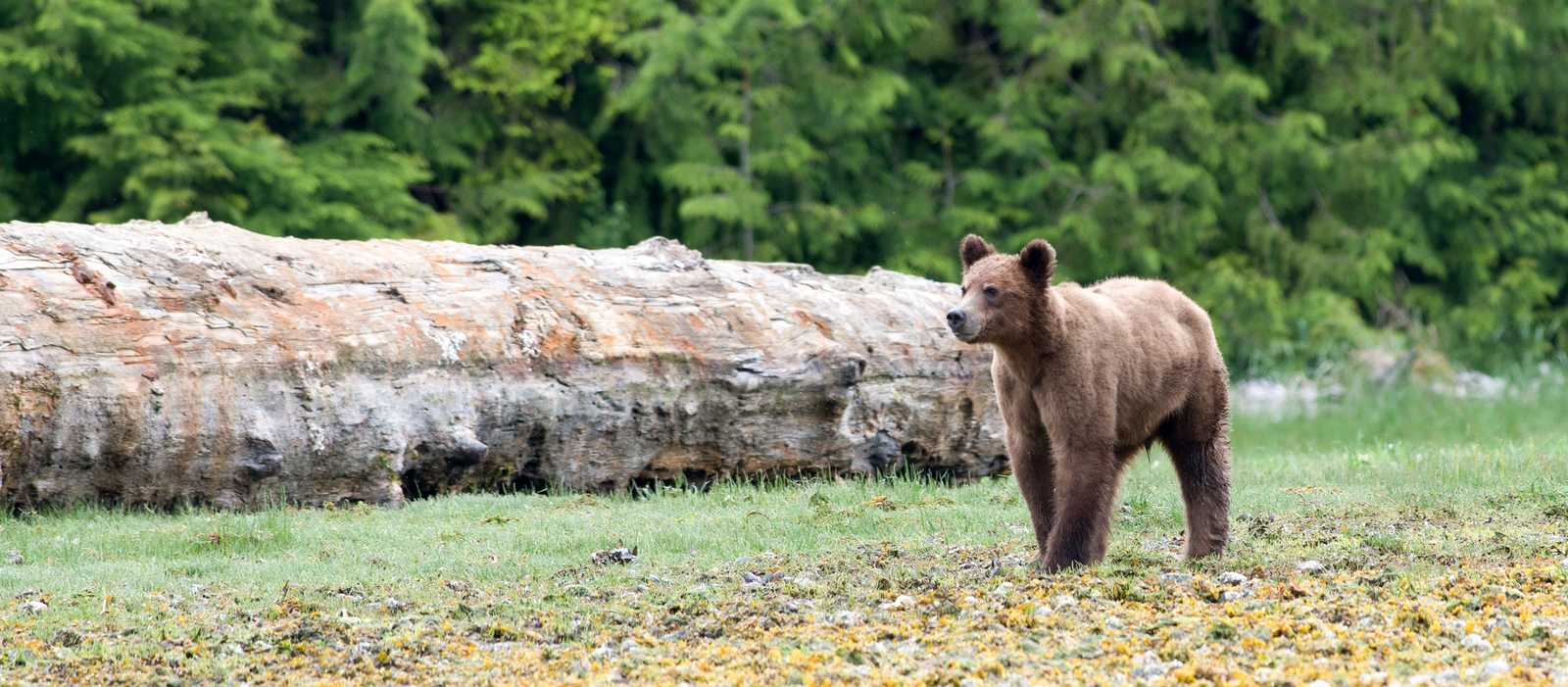 Bär beobachtet beim Kingfisher Wilderness Adventure