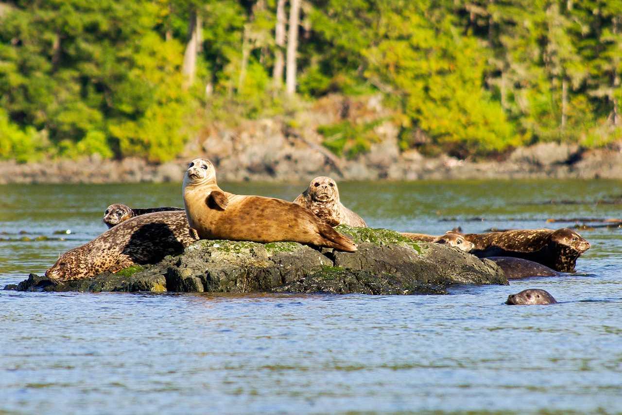 Robben auf Felsen beim Kingfisher Wilderness Adventure