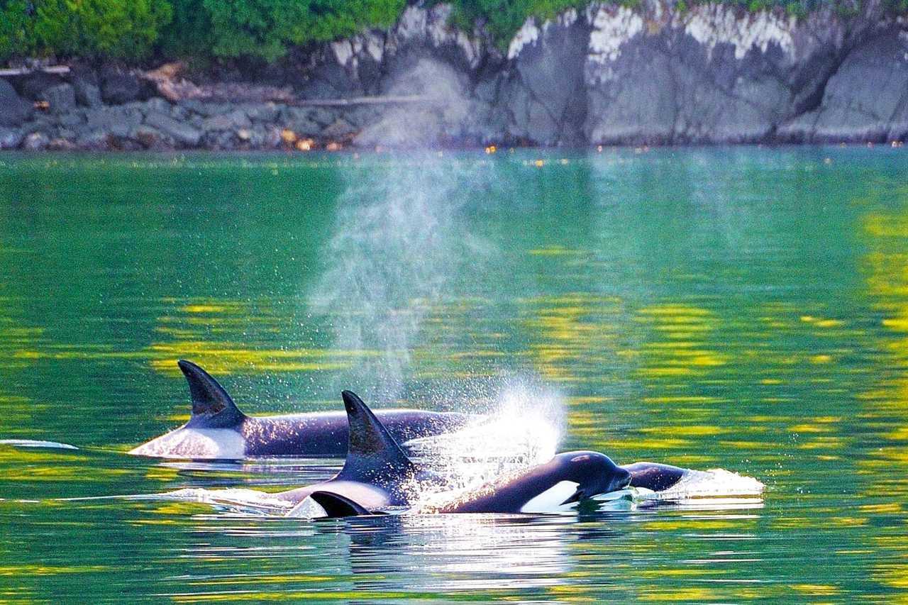 Orcas am Telegraph-Cove