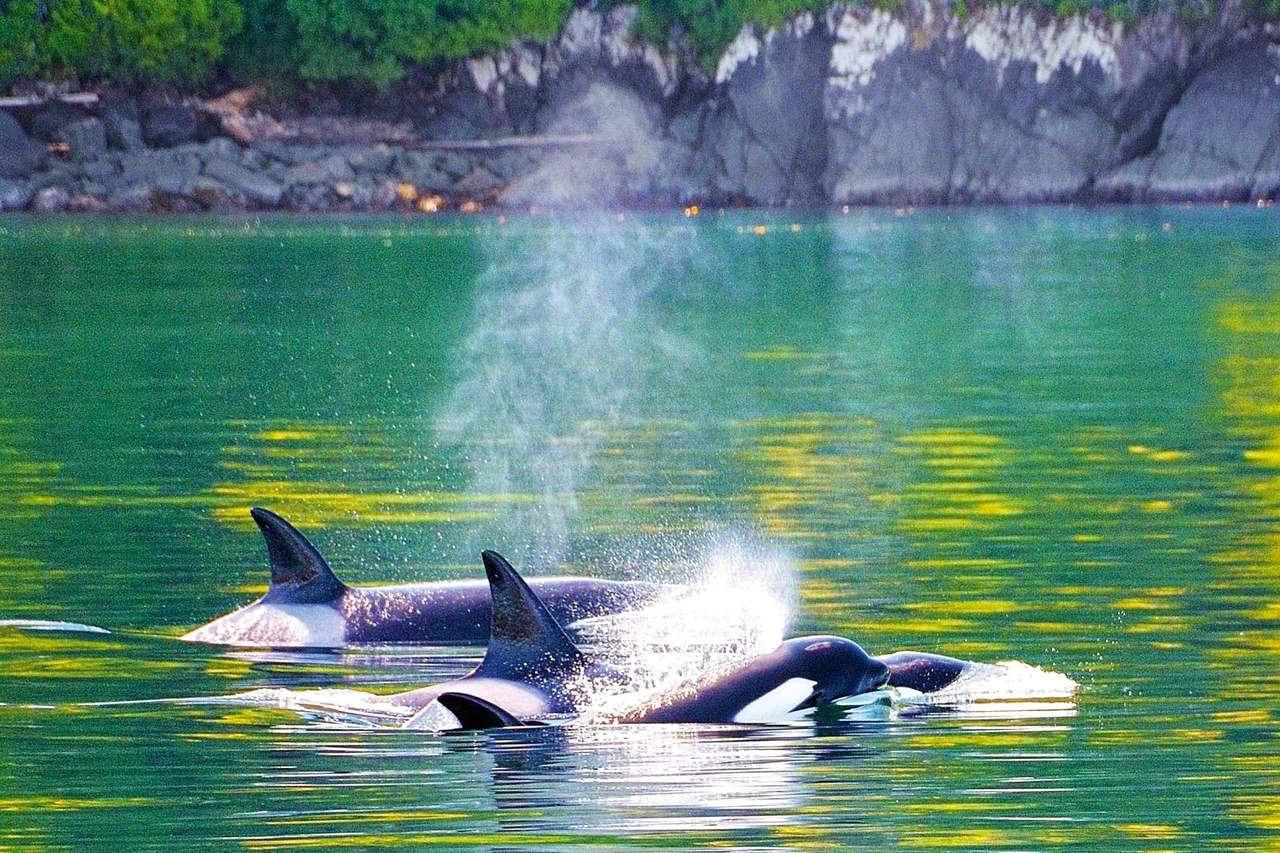 Orcas am Telegraph-Cove