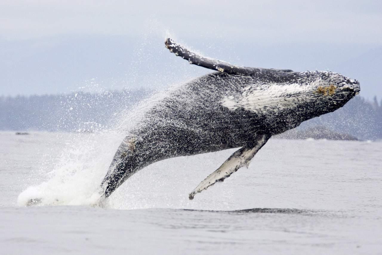 Whale and Bear Watching Tour in Tofino, Kanada