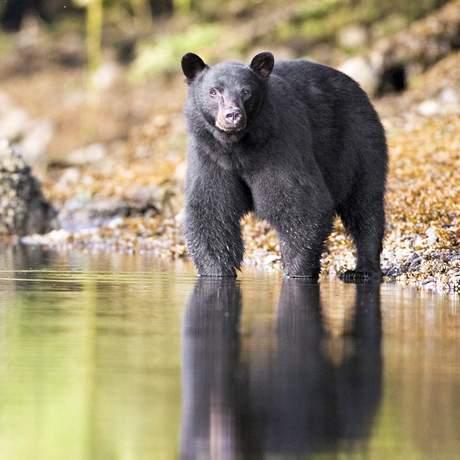 Schwarzbärsichtung bei der Whale and Bear Watching Tour in Tofino, Kanada