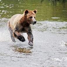 Bärenbeobachtung auf Vancouver Island